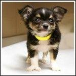 missouri-puppy-yellowcollar
